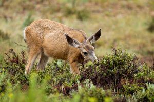 Cérvol Mul / Ciervo Mulo / Mule Deer (Odocoileus hemionus)