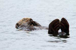 Llúdriga Marina / Nutria Marina / Sea Otter (Enhydra lutris)