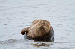 Foca comuna / Foca común / Harbour Seal (Phoca vitulina)