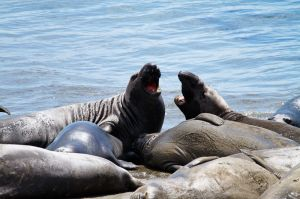 Elefant Marí / Elefante Marino / Elephant Seal (Mirounga angustirostris)