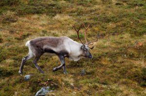 Ren / Reno / Reindeer
