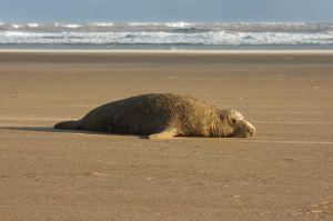 Mascle de foca gris / Macho de foca gris / Grey Seal Bull