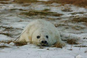 Cadell de foca gris / Cría de foca gris / Baby Grey Seal