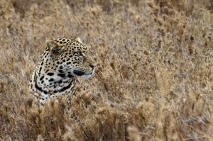 Lleopard / Leopardo / Leopard (Panthera pardus)