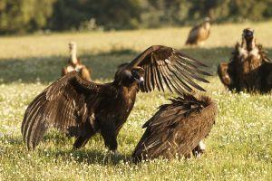 Voltor negre / Buitre negro / Black Vulture (Aegypius monachus)