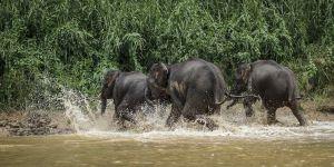Borneo Pigmy Elephant (Elephas maximus borneensis)