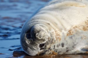 Cadell de foca gris / Cra de foca gris / Baby Grey Seal