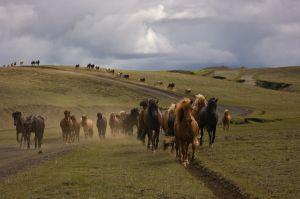 Cavalls islandesos de camí de Landmannalaugar / Caballos islandeses de camino a Landmannalaugar / Icelandic Horses in the way to Landmannalaugar