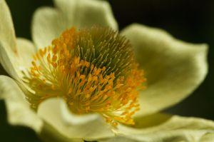 Pulsatilla alpina ssp. apiifolia