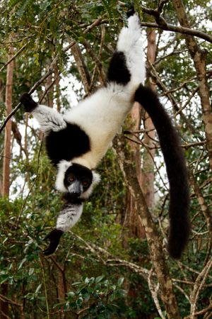 Black and White Ruffed Lemur (Varecia variegata variegata)