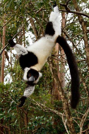 Black and White Ruffed Lemur (Varecia variegata variegata)