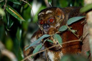 Eastern Wooly Lemur (Avahi laniger)