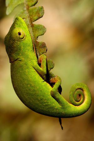 Short-nosed Chameleon (Calumma gastrotaenia)