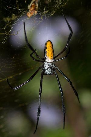 Goldenweb Spyder