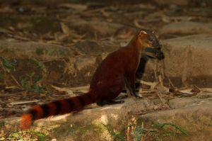 Malagasy ring-tailed mongoose (Galidia elegans)