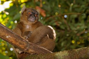 Greater Bamboo Lemur (Prolemur simus)