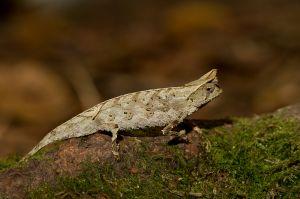 Stump-tailed chameleon (Brookesia superciliaris)