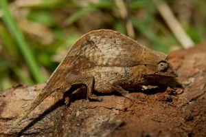Leaf Chameleon (Brookesia nasus)