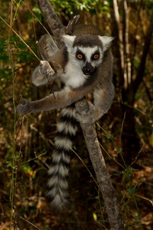 Ring-tailed Lemur (Katta, Lemur catta)