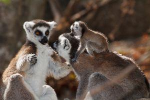 Ring-tailed Lemur (Katta, Lemur catta)