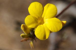 Pachipodium rosulatum gracilius
