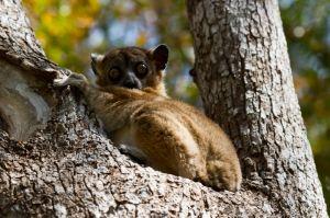 Hubbard's Sportive Lemur (Lepilemur hubbardorum)