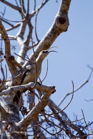 Sickle-billed Vanga (Falculea palliata)