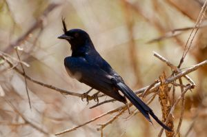 Crested Drongo (Dicrurus fortificatus)