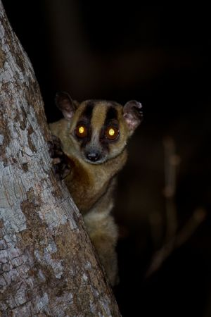 Pale Fork-marked Lemur (Phaner pallescens)