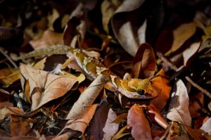 Big-headed Gecko (Paroedura pictus)