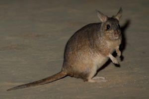 Giant Jumping Rat (Hypogeomys antimena)